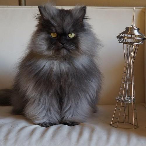 Gato peludo ojos verdes - Colonel Meow